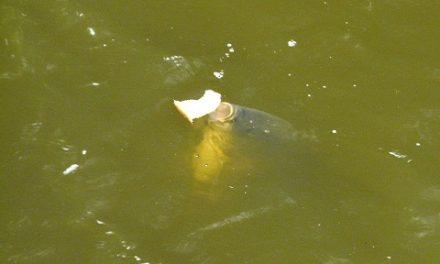 Vissen met drijvende Korst